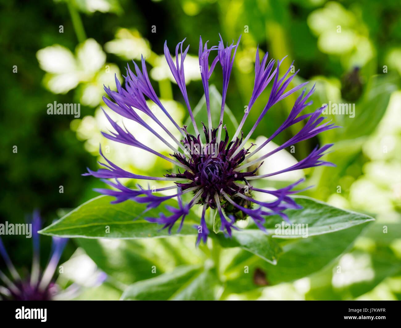 Beautiful Star Shaped Purple Flower Of The Perennial Cornflower Or