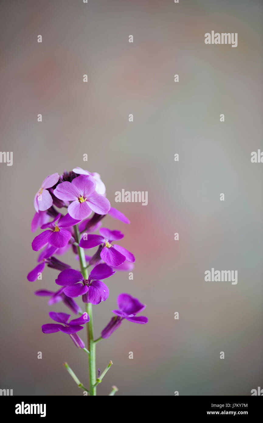 Purple wallflower on a grey background - Stock Image