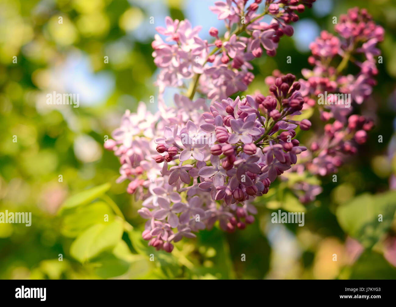 Lilac flower under the blue sky. Spring flowers background - Stock Image