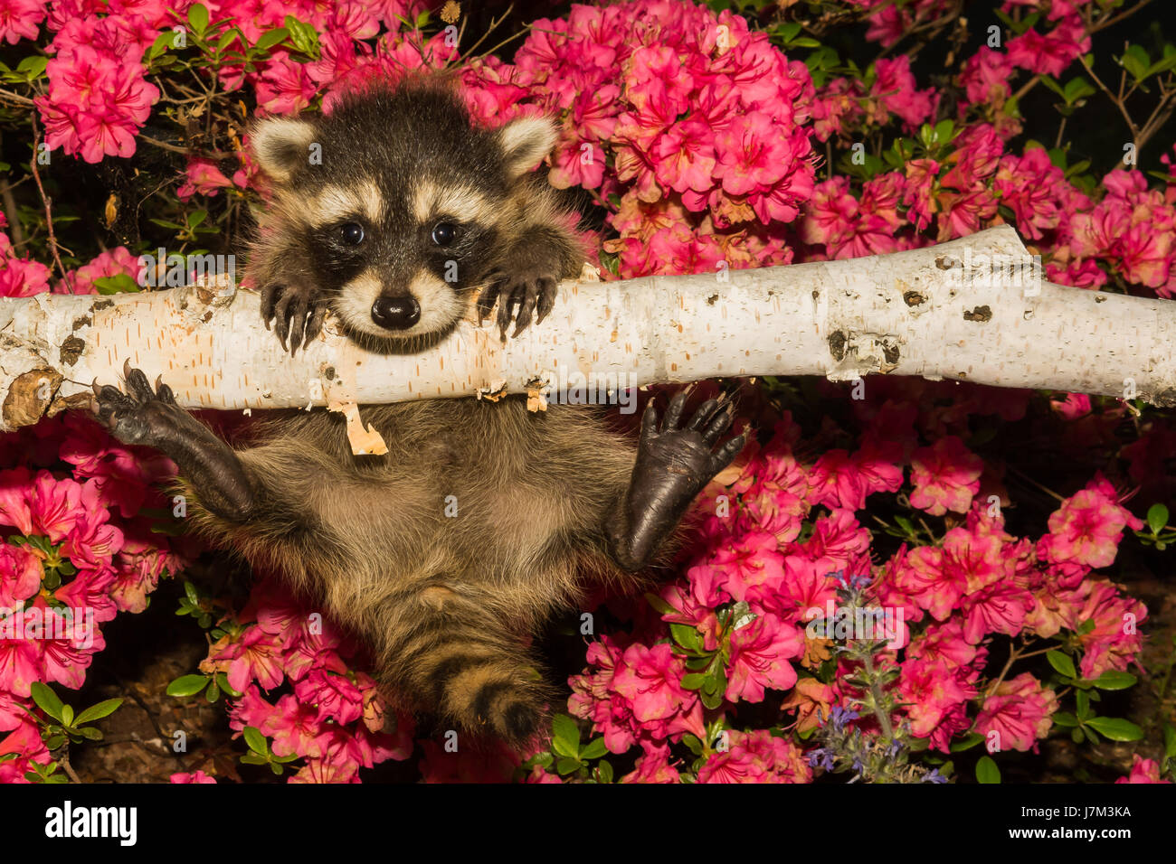 A baby Raccoon learning to climb in the garden Stock Photo ...