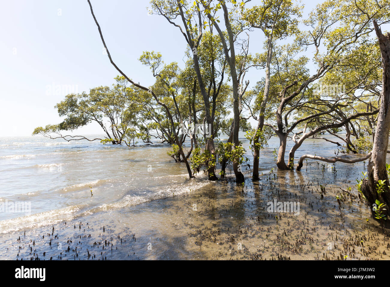 Mangrove trees on the bay. - Stock Image