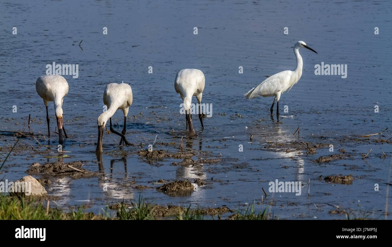Group of spoonbill birds and little egret looking for food - Stock Image