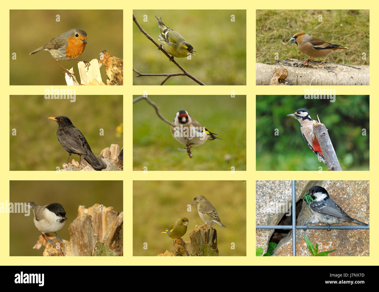 fauna woodpecker collage singing-bird bobolinks finches titmice bird birds Stock Photo