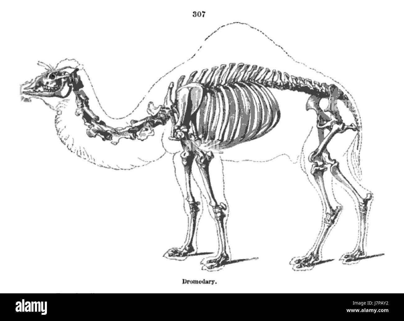 Groß Kamel Anatomie Und Physiologie Zeitgenössisch - Menschliche ...