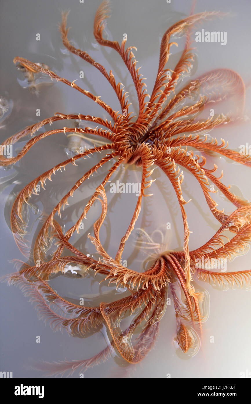 Crinoids In A Box-core From Haas Mound, Rockall Bank, Atlantic Ocean - Stock Image