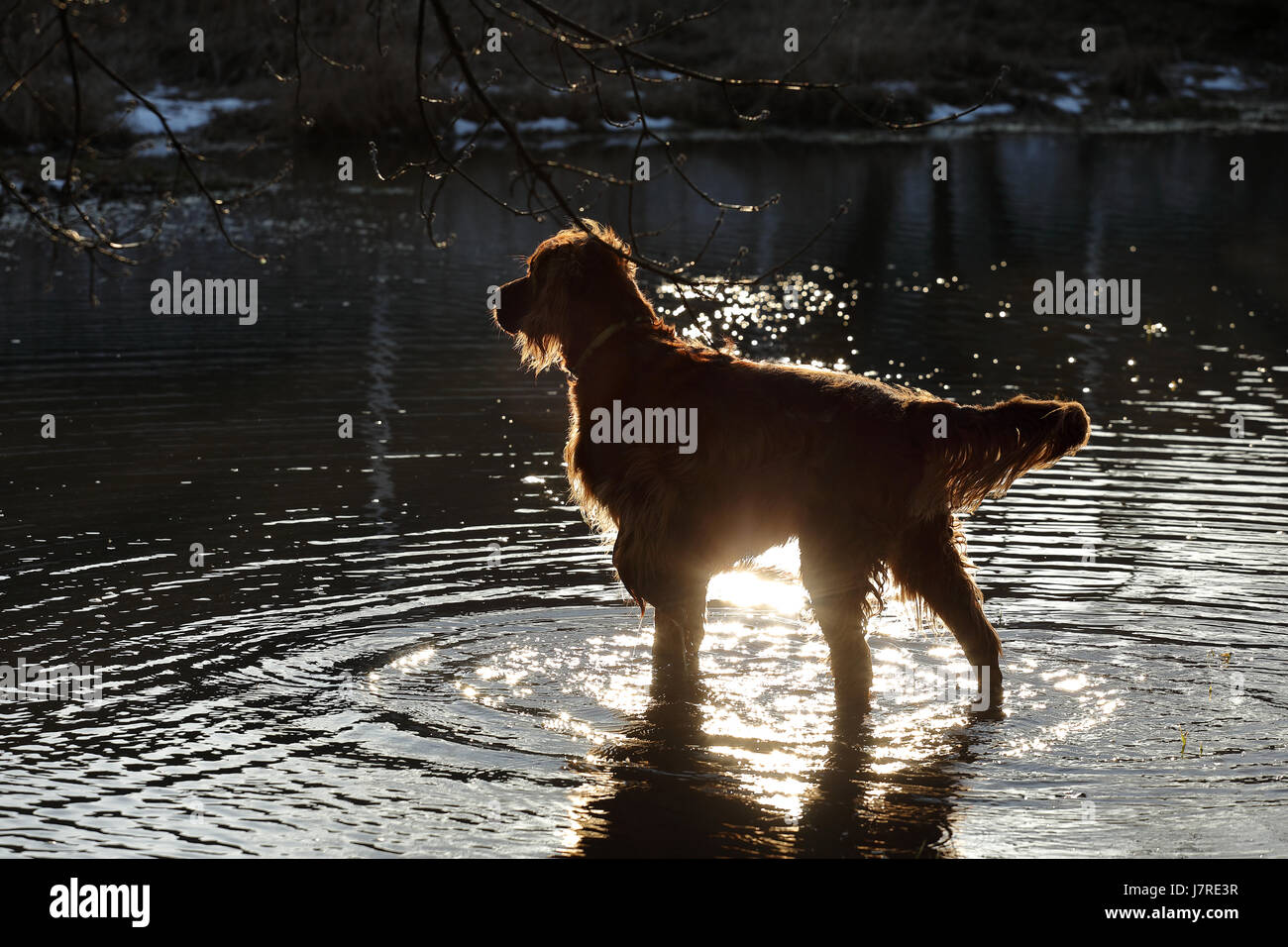 The  setter dog is playing in the water Stock Photo