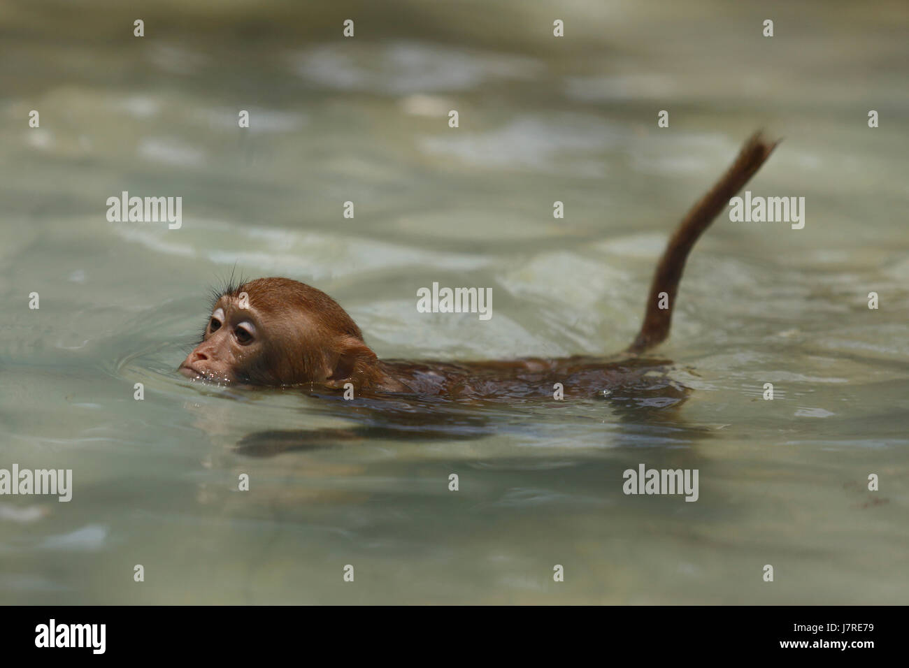 A Rhesus Macaque rests on the edge of a water tank at Dhaka Zoo during a swim to escape the summer heat. Dhaka, - Stock Image