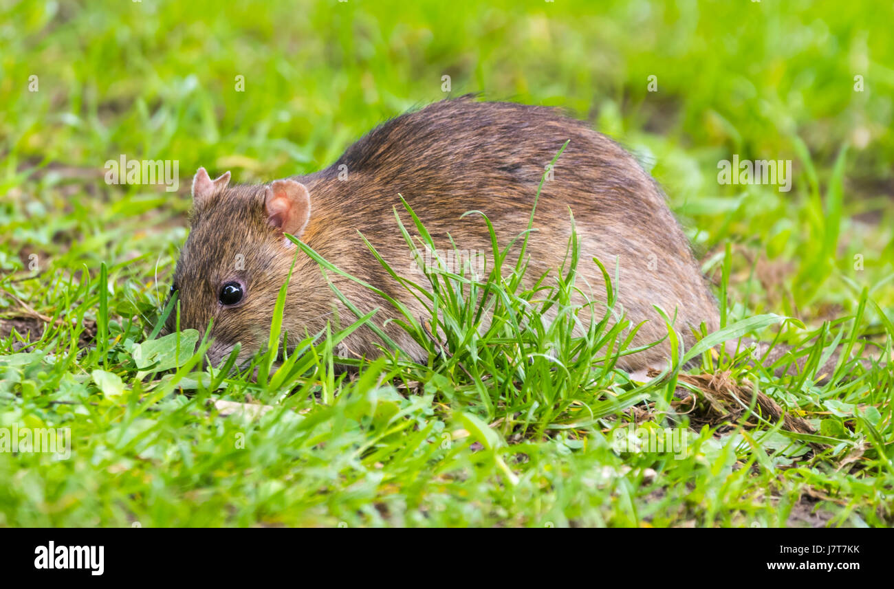Rat in the grass outside looking for food. - Stock Image
