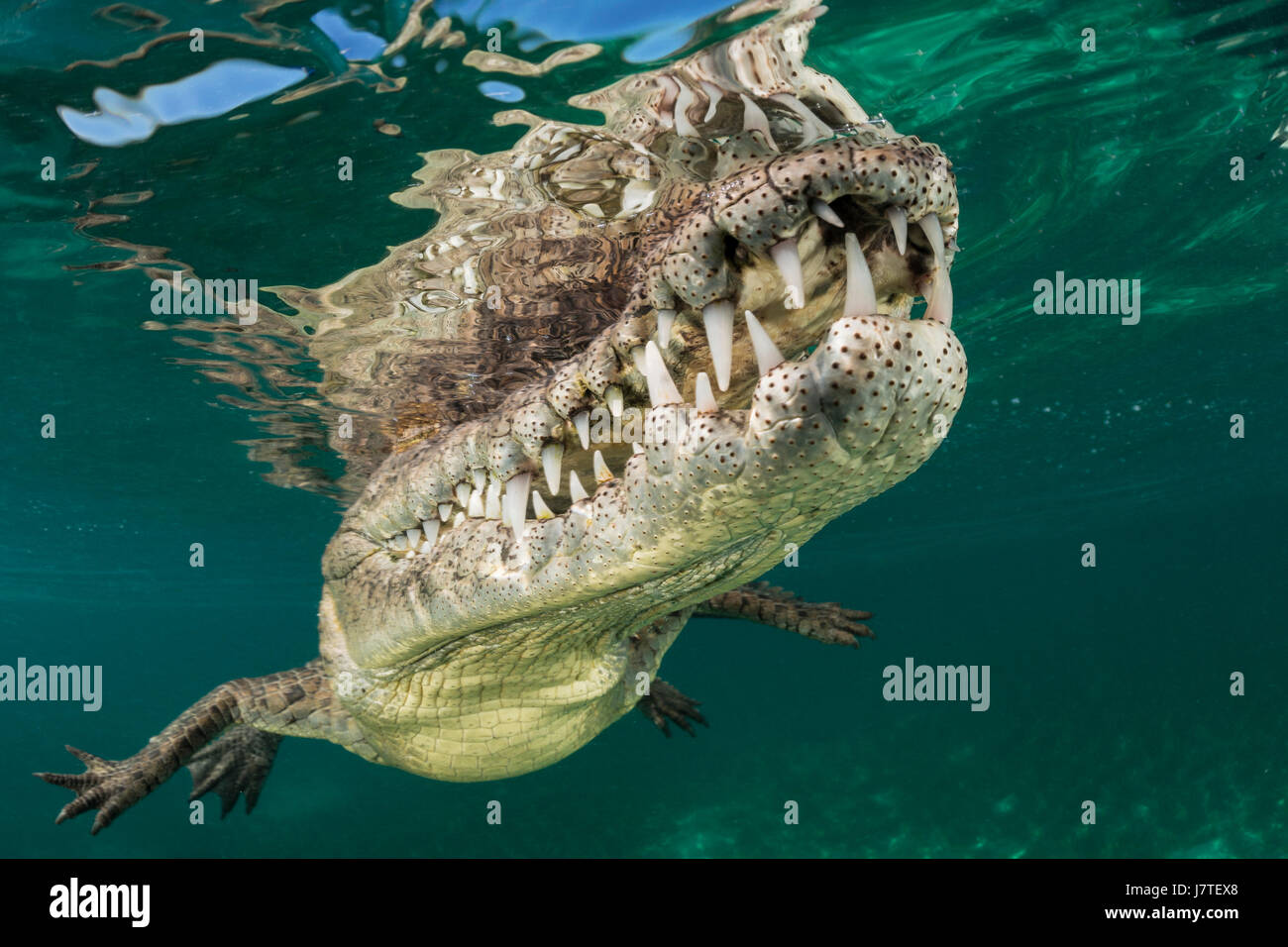 American crocodile crocodylus acutus jardines de la reina cuba stock photo 142524096 alamy - Jardines de la reina ...