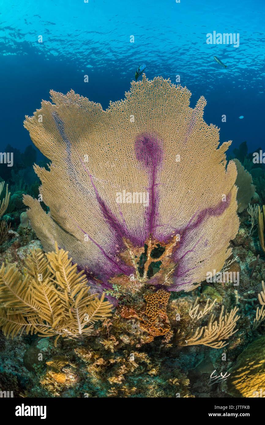 Venus Sea Fan, Gorgonia flabellum, Jardines de la Reina, Cuba Stock Photo