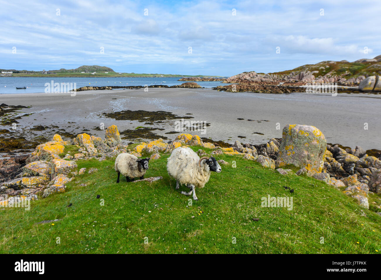 Sheep coming from the beach, Isle of Mull, Scotland, United Kingdom - Stock Image