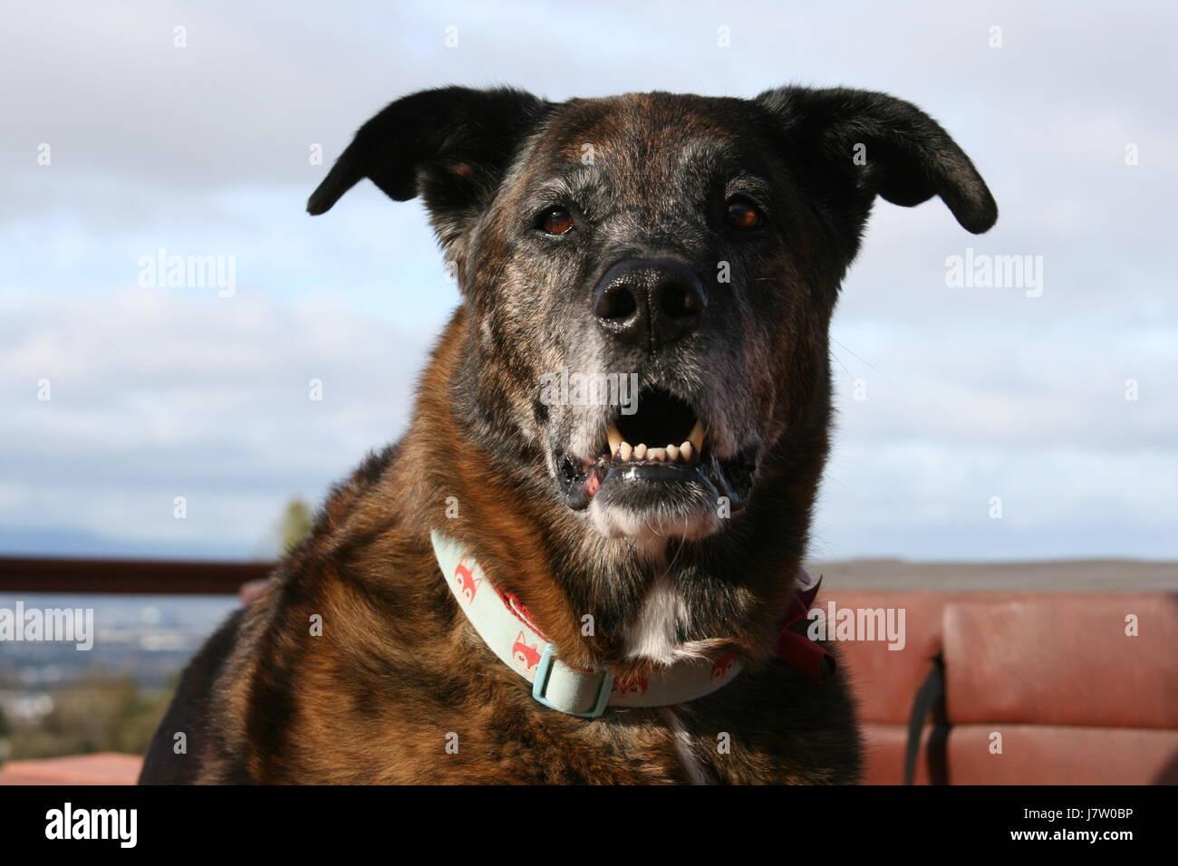 Brindle Shepherd Dog - Stock Image