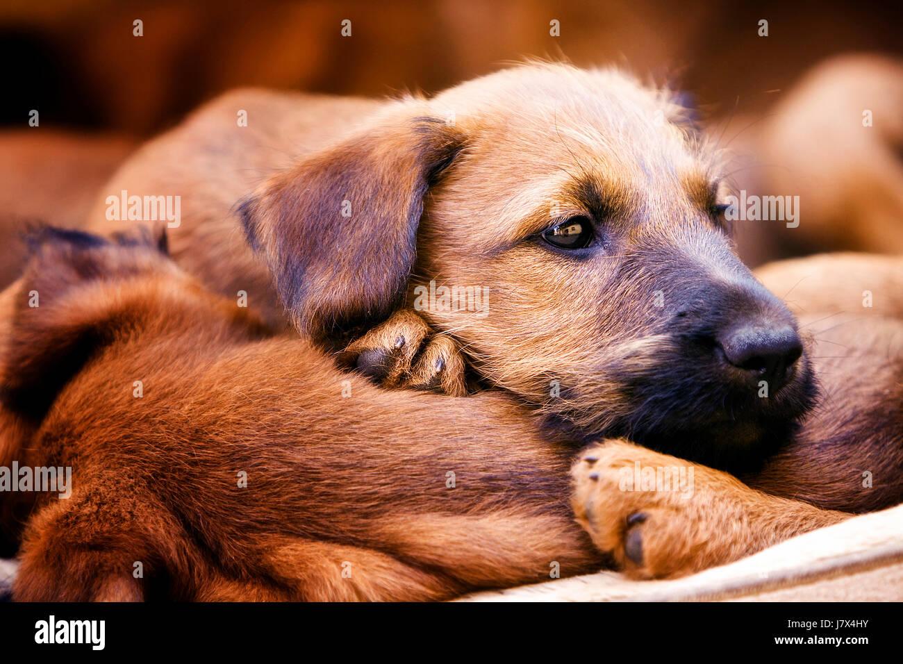 dog sleep sleeping puppy terrier breed cute puppies whelps pupies