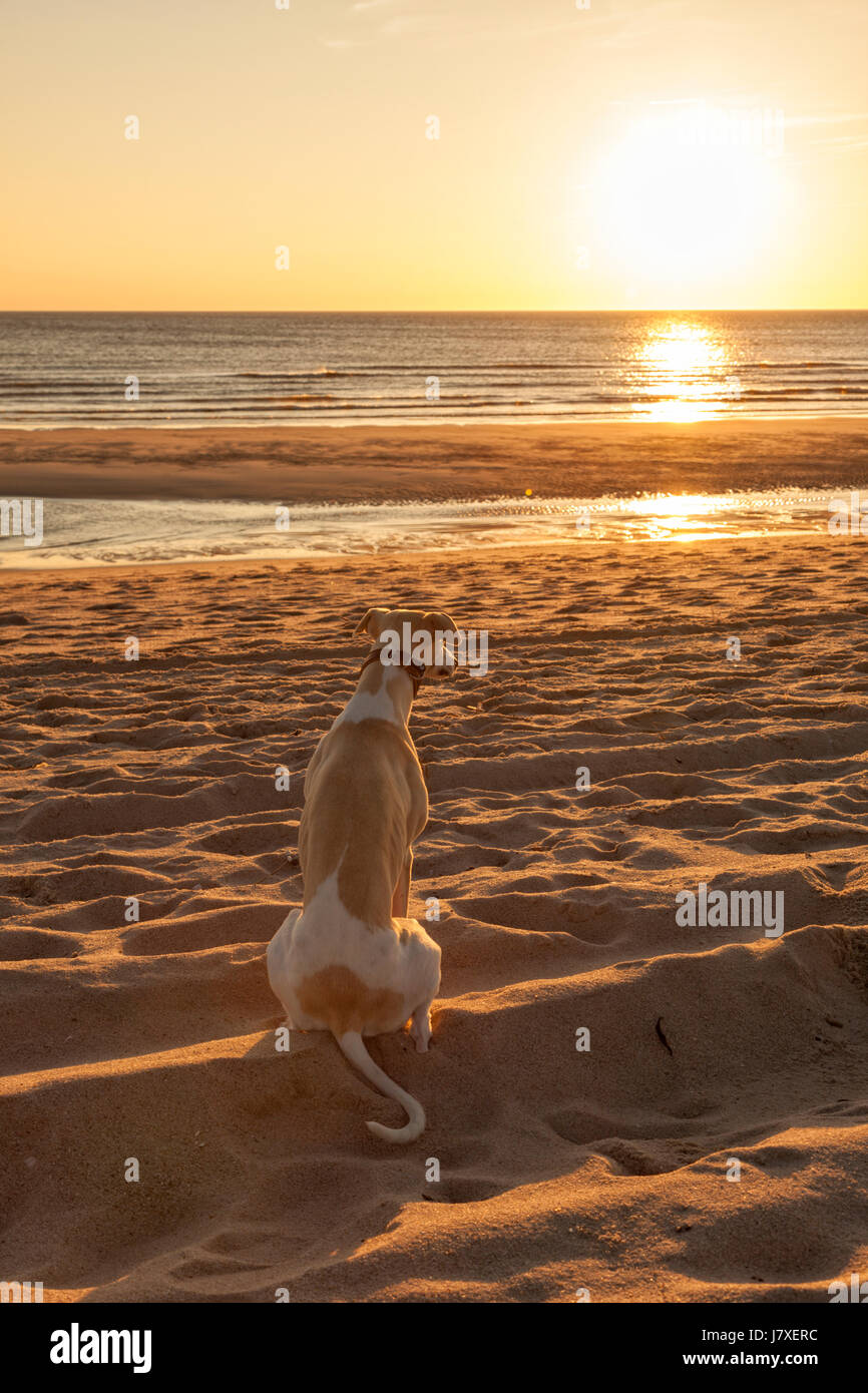 Whippet sighthound sitting at the beach of Sylt, watching the sunset - Stock Image