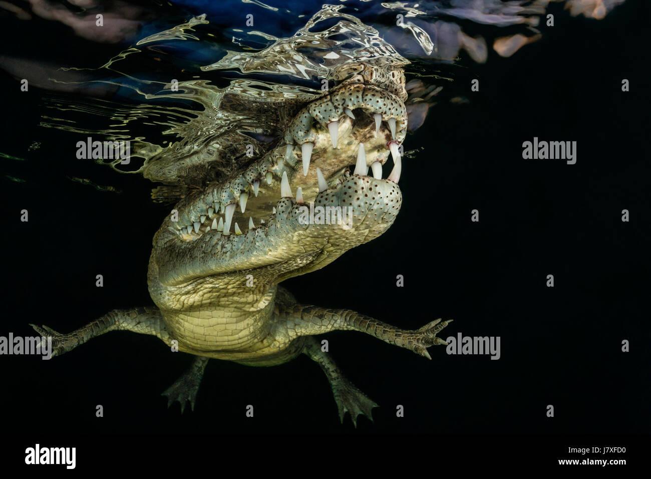American Crocodile, Crocodylus acutus, Jardines de la Reina, Cuba Stock Photo