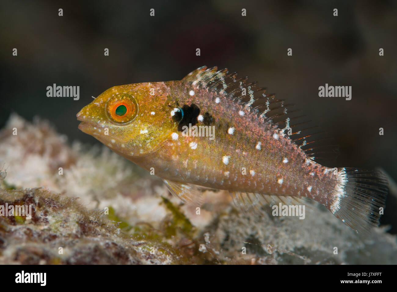 Stoplight Parrotfish, Sparisoma viride, Jardines de la Reina, Cuba - Stock Image