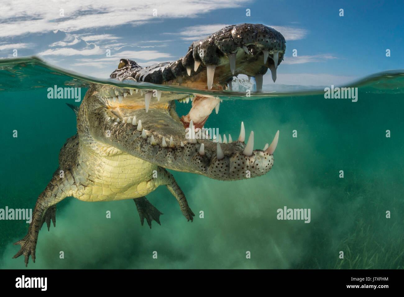 American Crocodile, Crocodylus acutus, Jardines de la Reina, Cuba - Stock Image