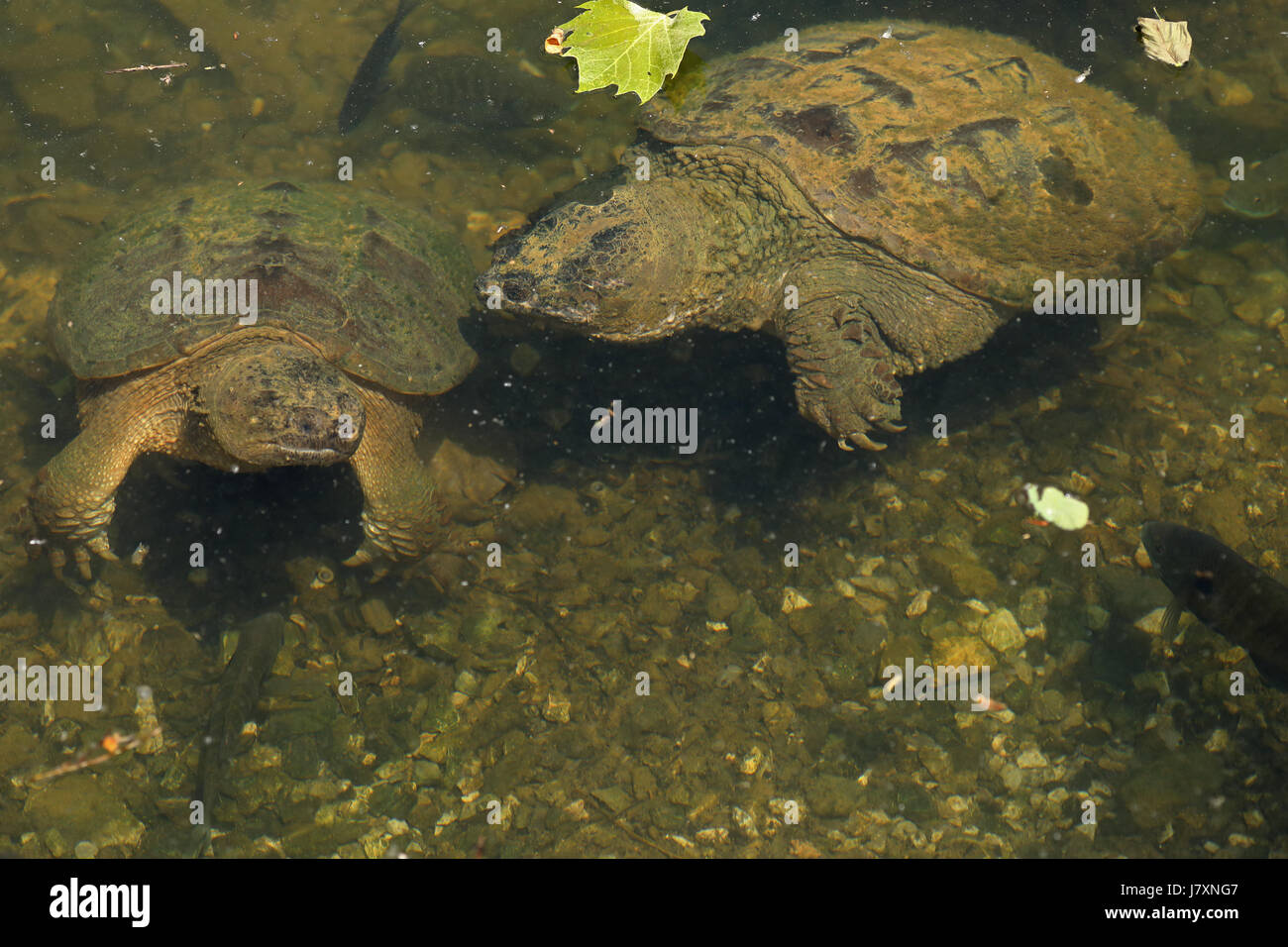Snapping turtles, Chelydra serpentina, Maryland, amongst bluegill nests, (Lepomis macrochirus) - Stock Image