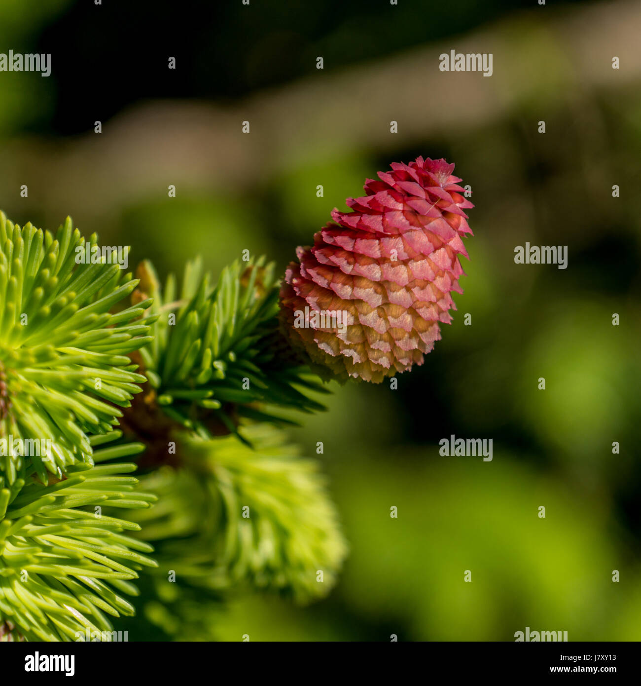 Bright pink cones of a Norway Spruce tree near the Stanley Park Pavilion in Vancouver, BC.<br><br>Thank - Stock Image