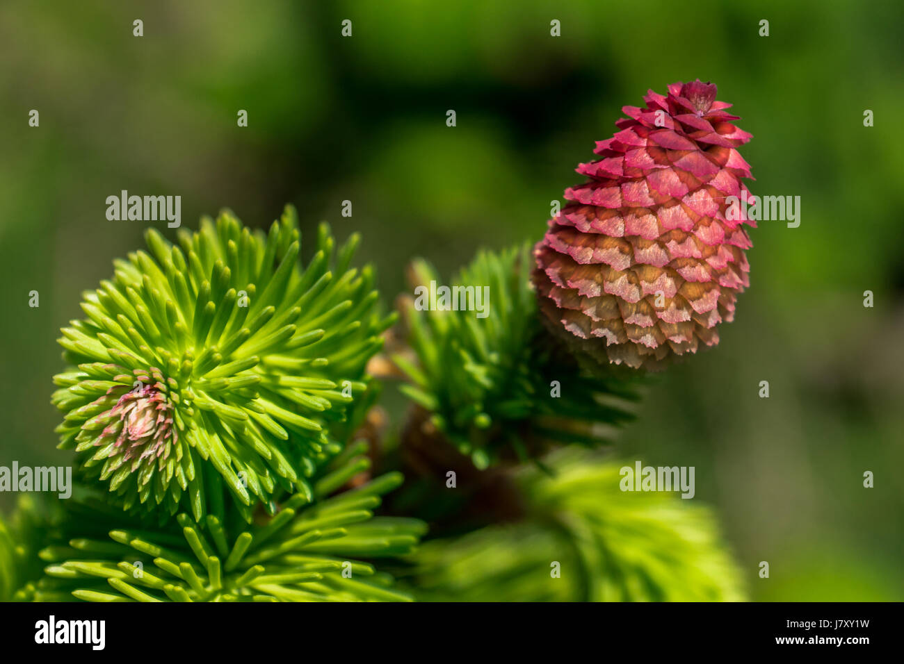 Bright pink cones of a Norway Spruce tree near the Stanley Park Pavilion in Vancouver, BC - Stock Image
