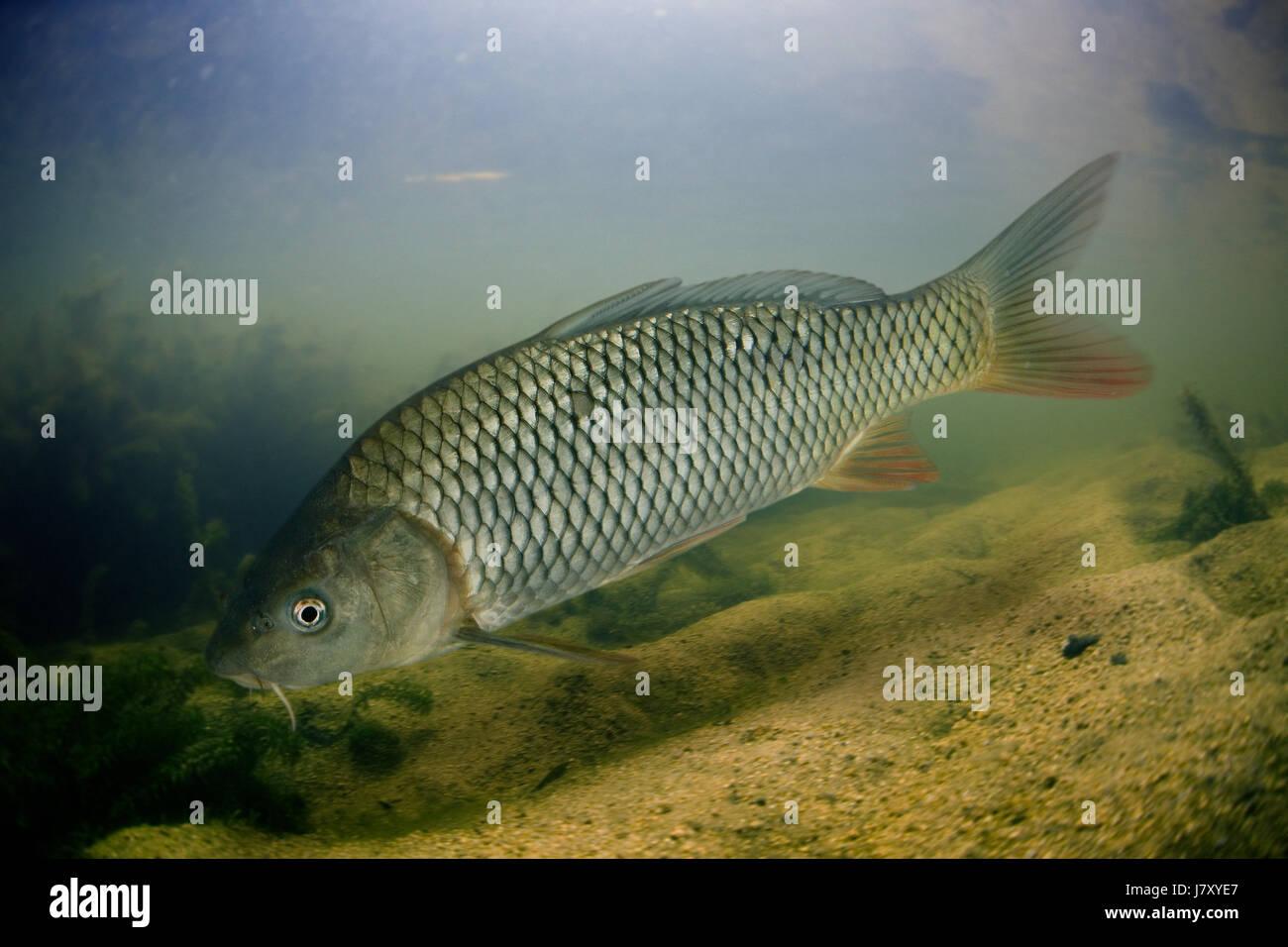 Carp, Cyprinus carpio. on river.  Portugal Stock Photo