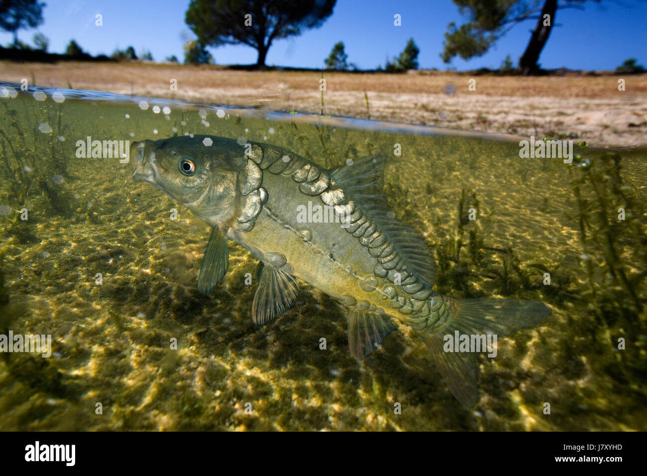 Carp, Cyprinus carpio, on lake. Mirror carp variety. Feeding at surface. Surface level view, half emerged half immersed. - Stock Image