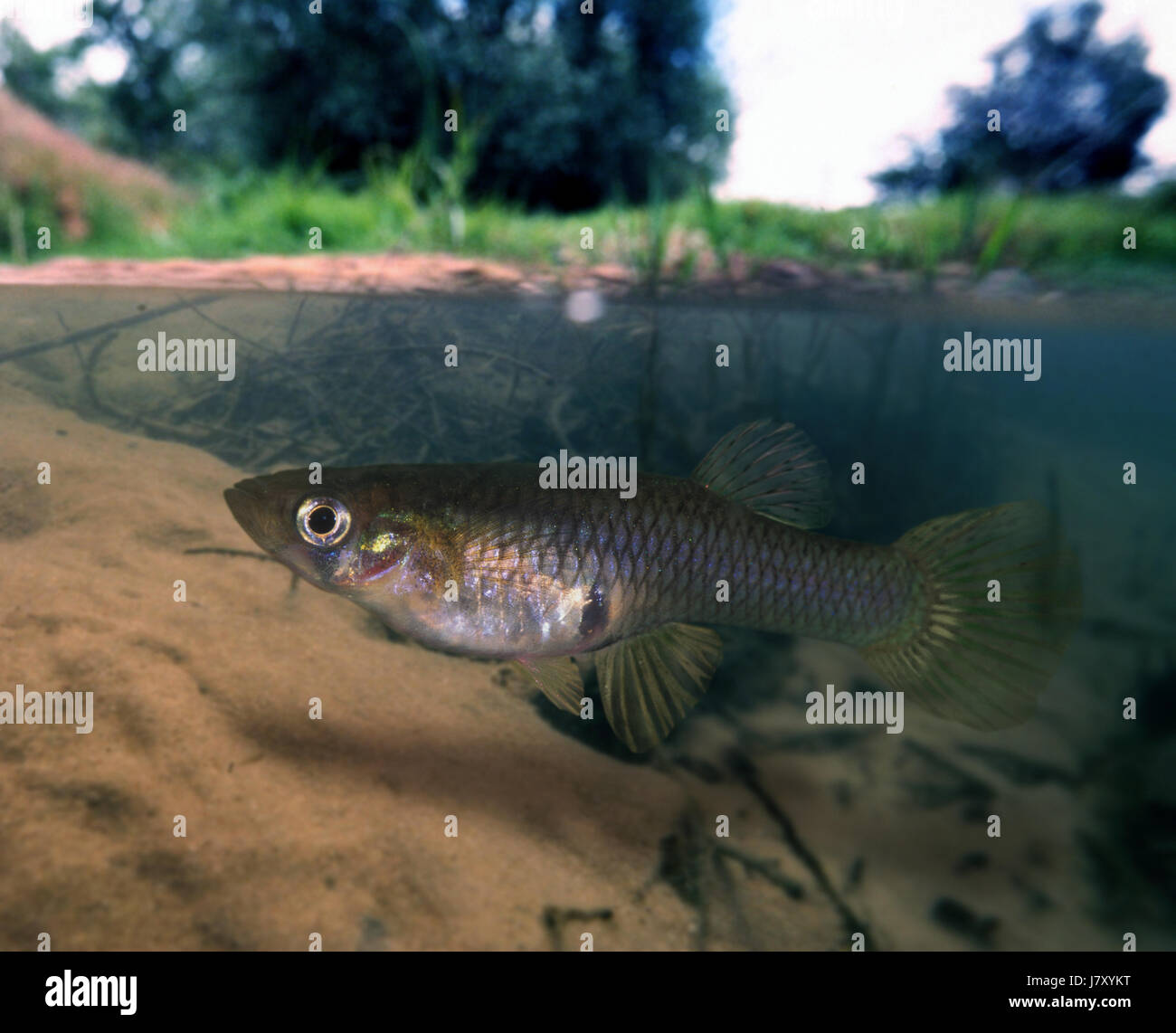 Eastern mosquitofish, Gambusia holbrooki, female. On river environment.  Portugal - Stock Image