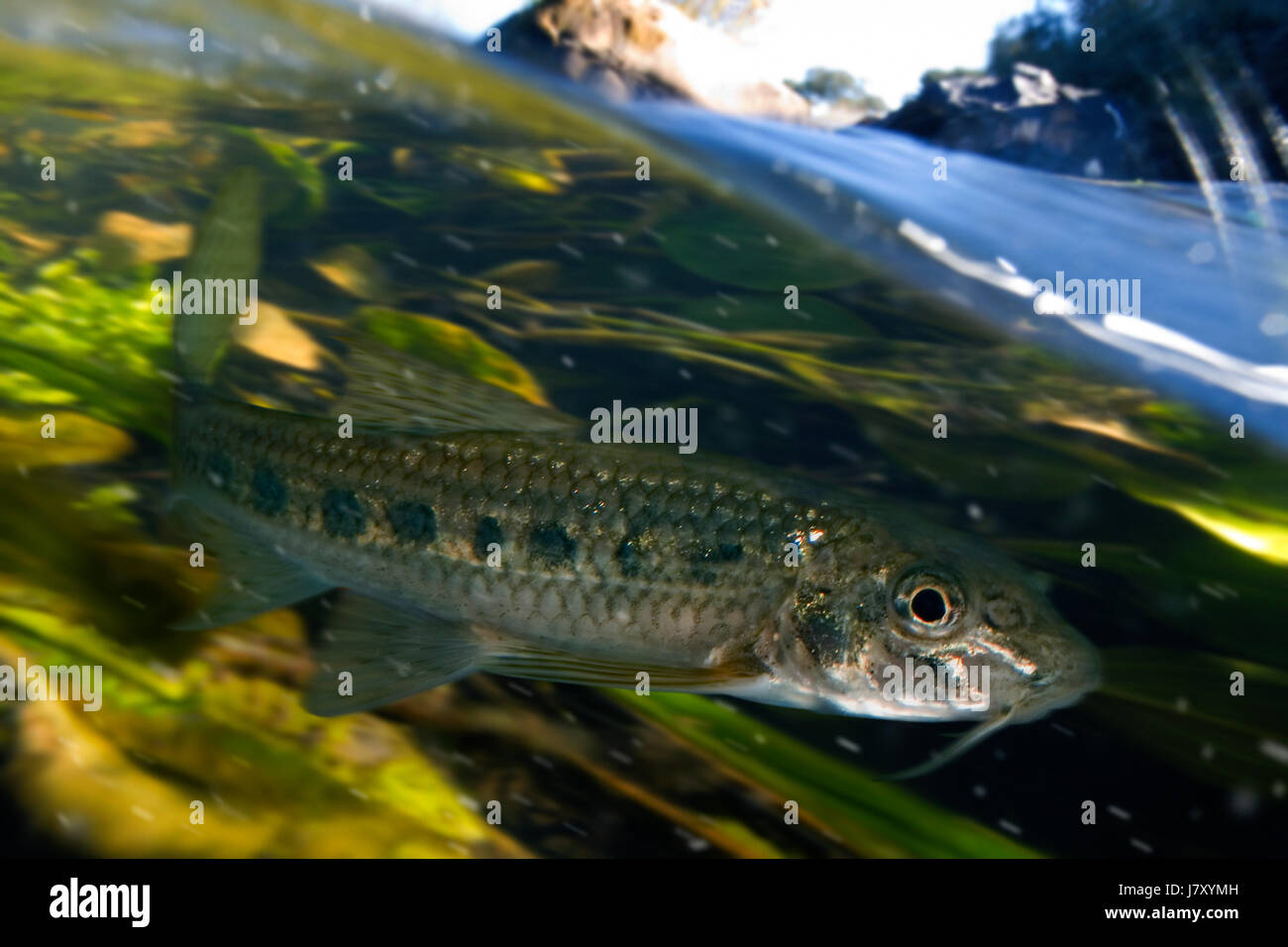 Iberian gudgeon, Gobio lozanoi, in shallow water. Portugal - Stock Image