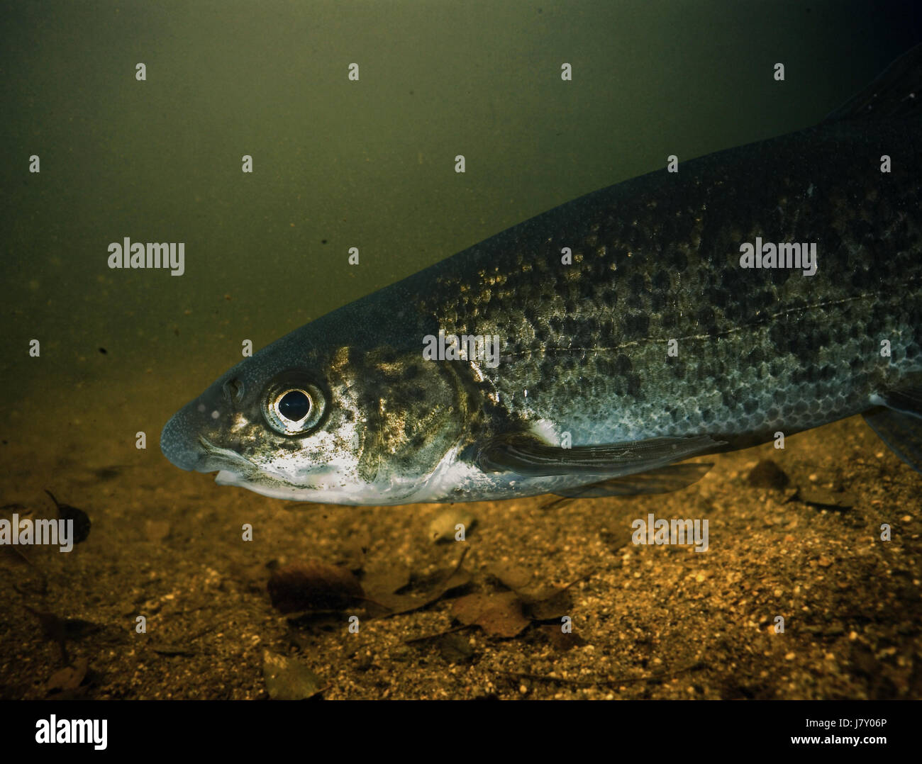 Northern straight-mouth nase, Pseudochondrostoma duriense, head detail. Spawning male with characteristic nuptial Stock Photo