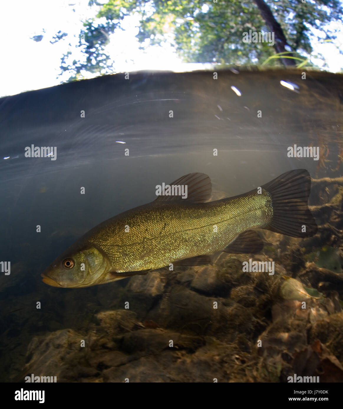 Tench, Tinca tinca, on stone bottom river. Portugal - Stock Image