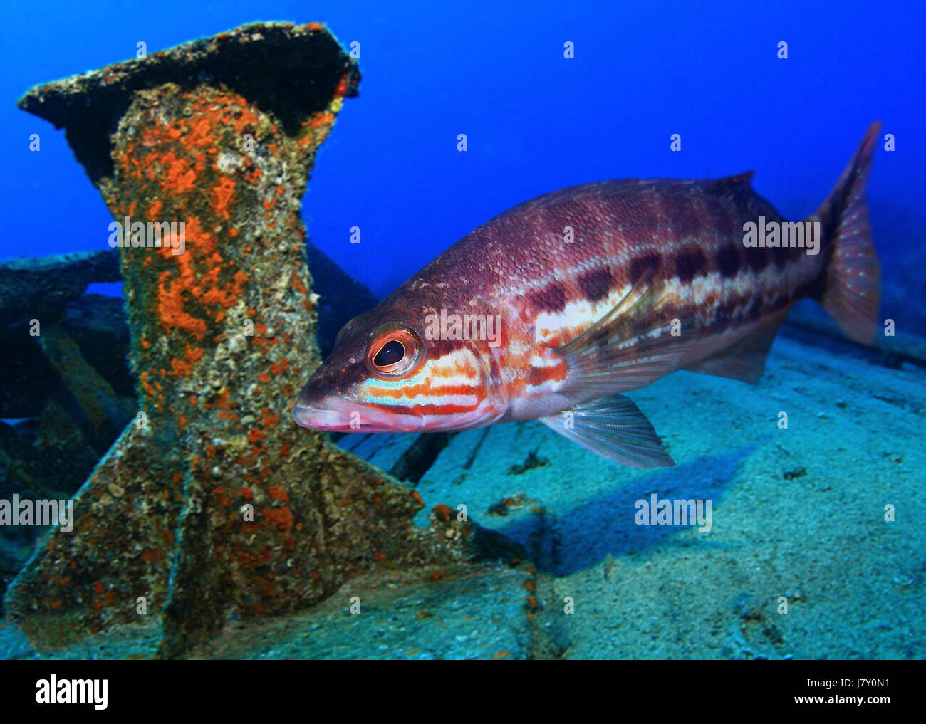 Comber, Serranus cabrilla. Lateral view on ship wreck. Azores, Portugal. - Stock Image