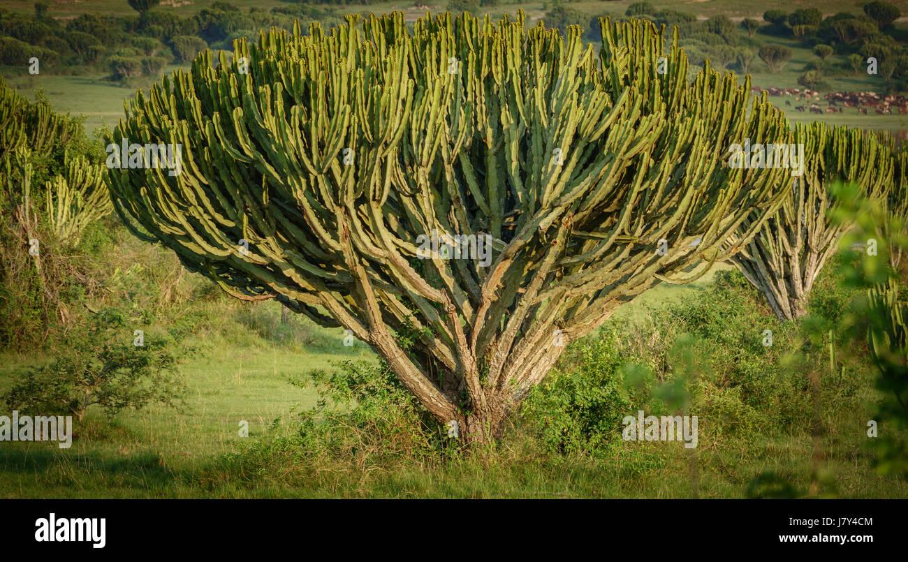 African cactus tree closeup - Stock Image