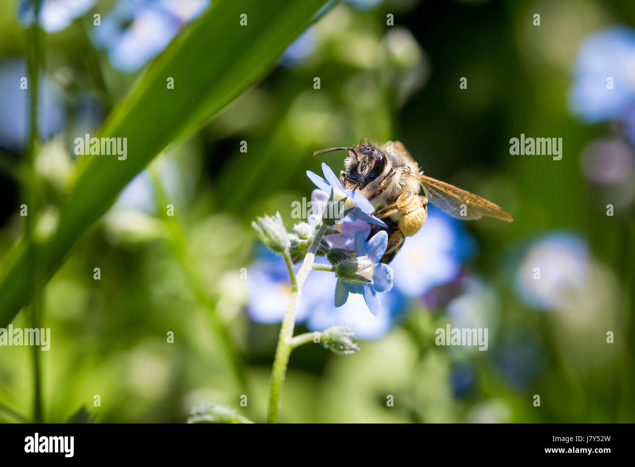 Close up of a bee pollinating a flower. - Stock Image