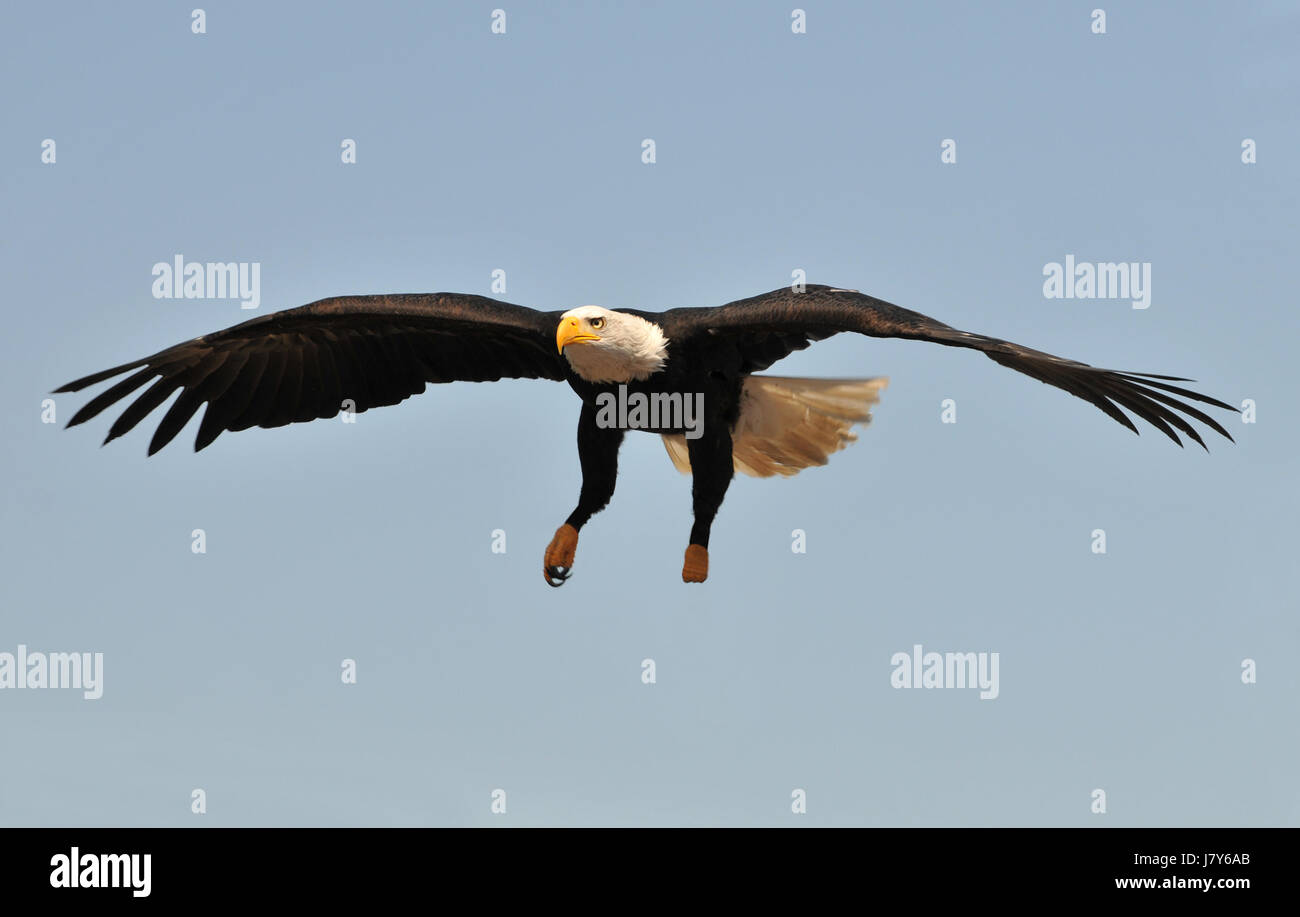 Flight Show Raptor Eagle Air Display Bald Eagles Flight Eyes Flight