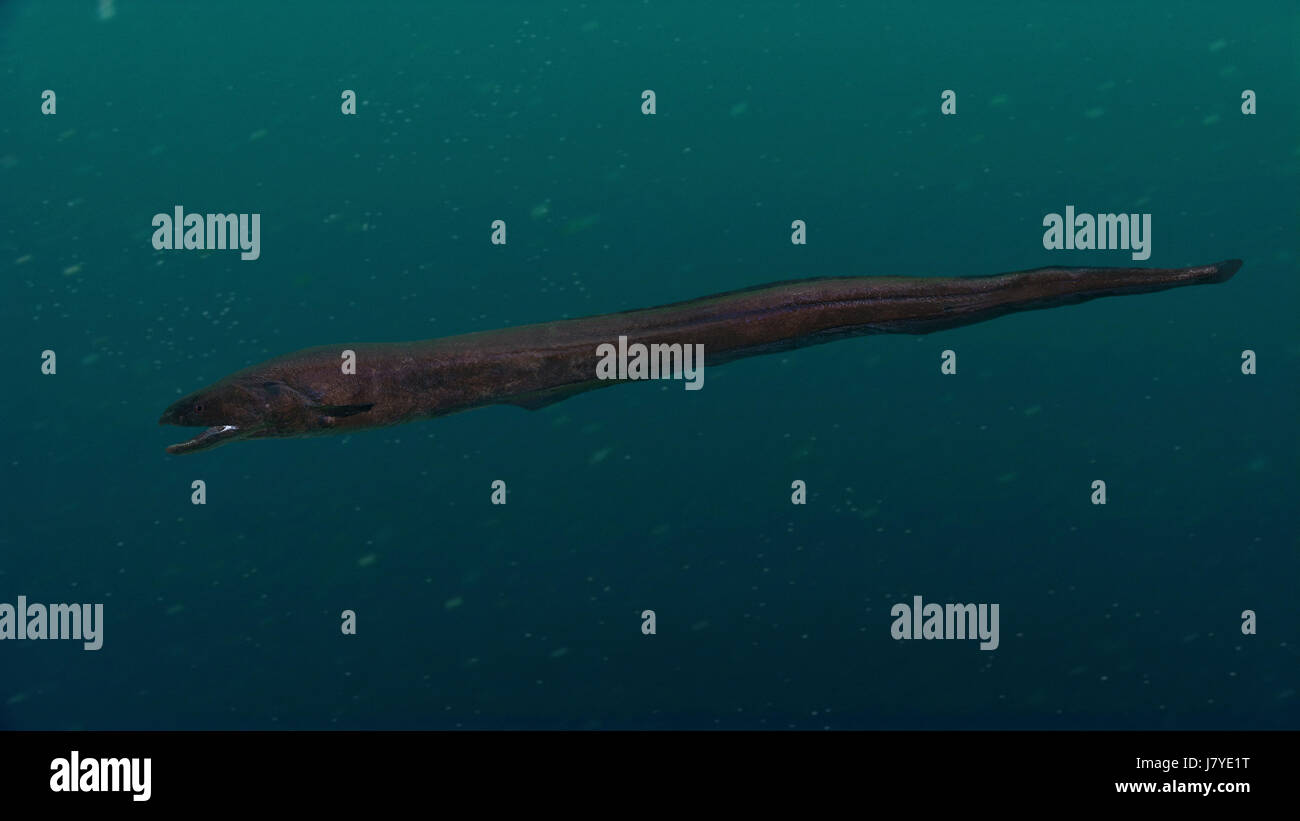 Histiobranchus bathybius, Deepwater Arrowtooth Eel. Senegal. - Stock Image