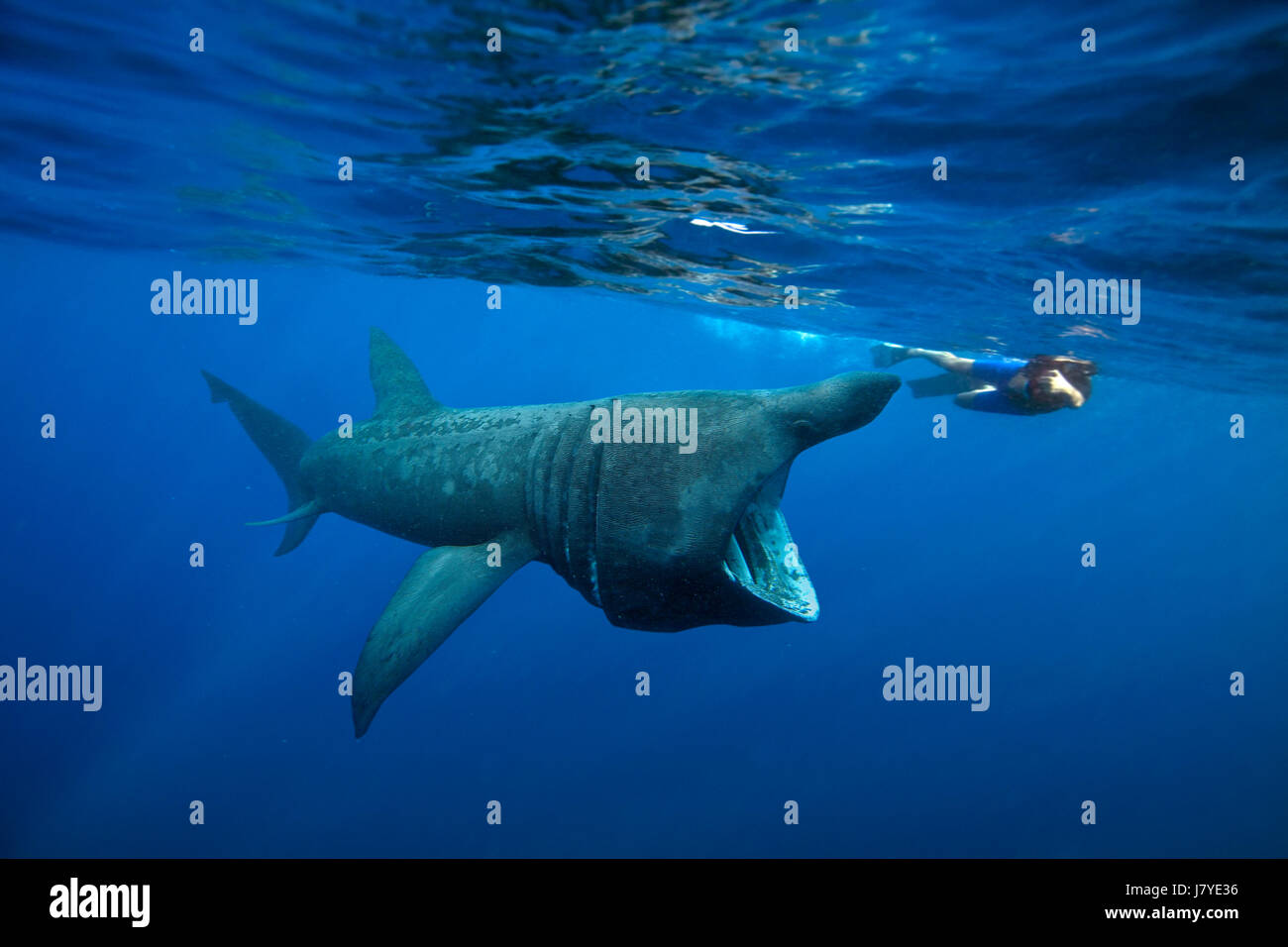 Basking shark, Cetorhinus maximus. Berlengas, Portugal. - Stock Image