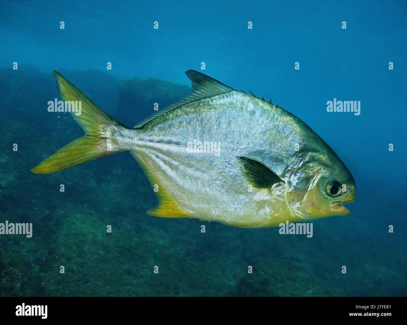 Florida pompano, Trachinotus carolinus. Portugal - Stock Image