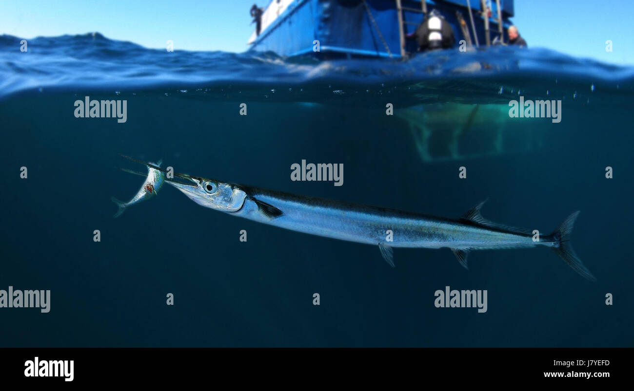Agujon needlefish, Tylosurus acus. Catching a sardine close to water surface. Above and bellow water view. Portugal - Stock Image