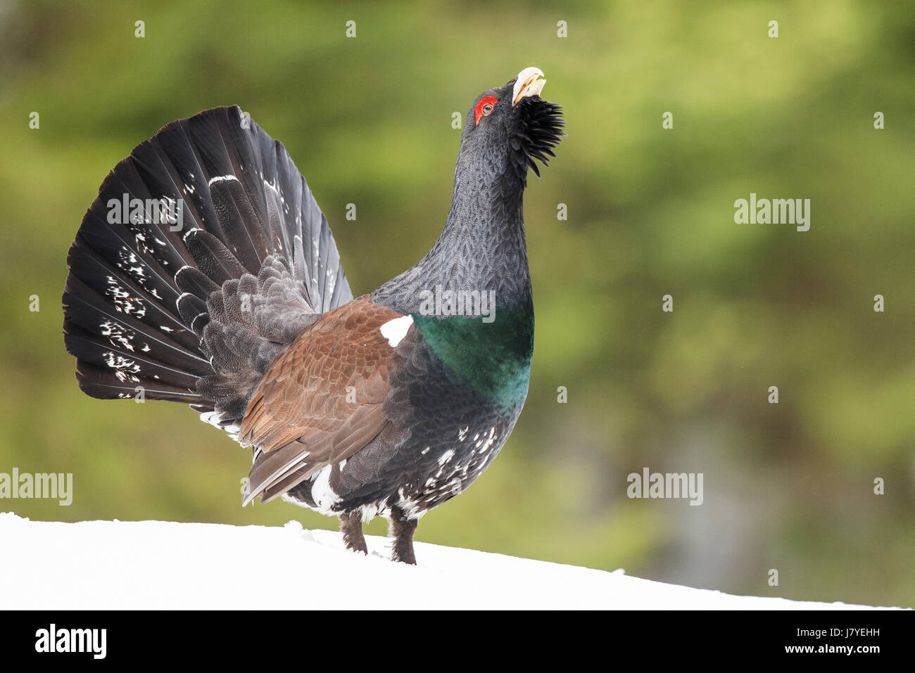 Capercaillie (Tetrao urogallus) during courtship in forest, Winter, Berchtesgadener Land, Bavaria, Germany Stock Photo