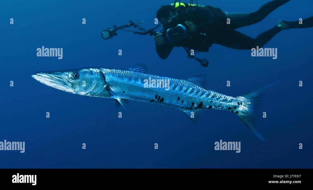 Great barracuda, Sphyraena barracuda. With diver. Portugal - Stock Image