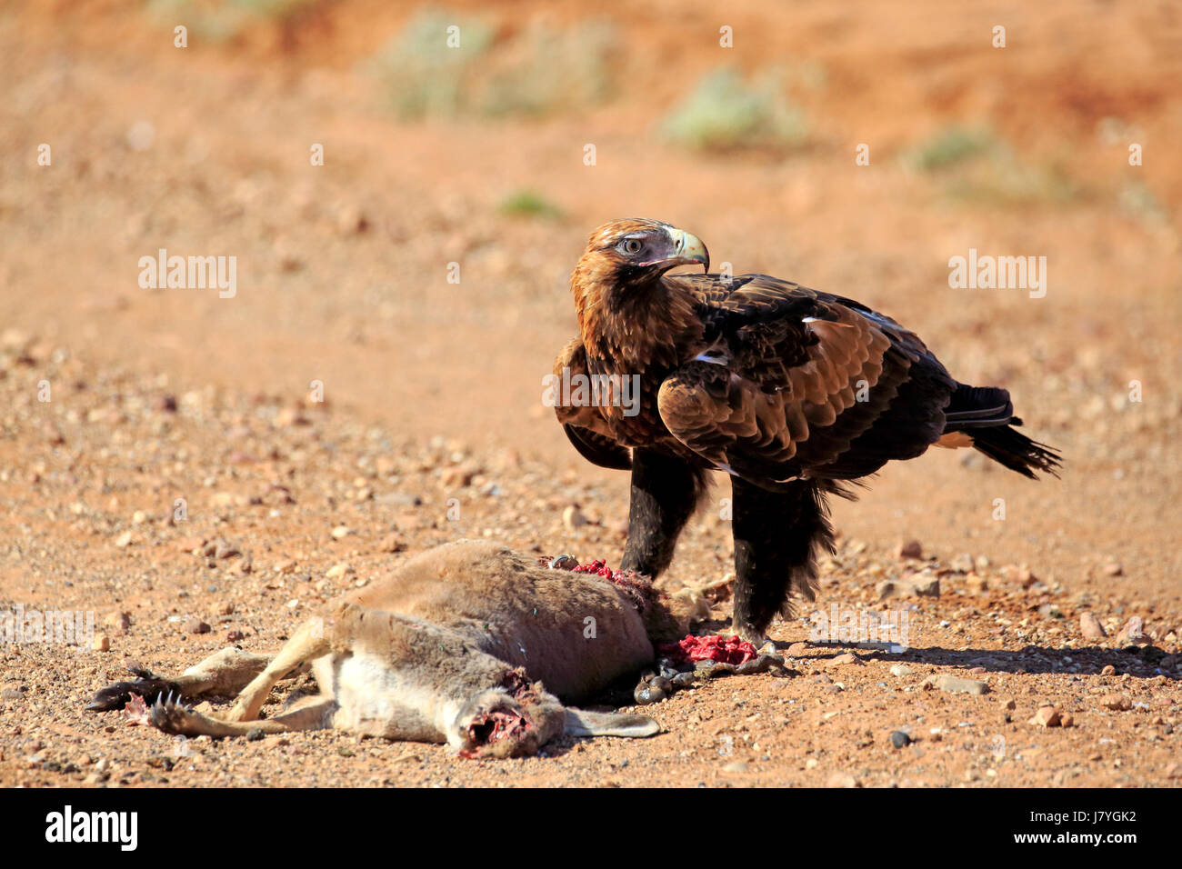 Wedge-tailed eagle (Aquila audax), adult at prey, Sturt National Park, New South Wales, Australia - Stock Image