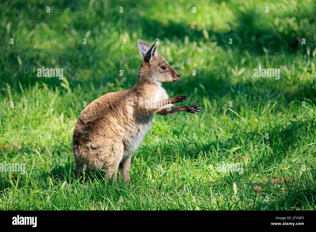 Eastern Gray Kangaroo (Macropus giganteus), young animal in a meadow, Mount Lofty, South Australia, Australia - Stock Image