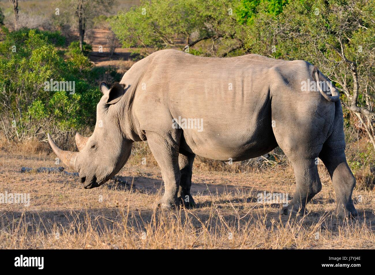 White rhinoceros or Square-lipped rhinoceros (Ceratotherium simum), adult male standing, motionless, Kruger National - Stock Image