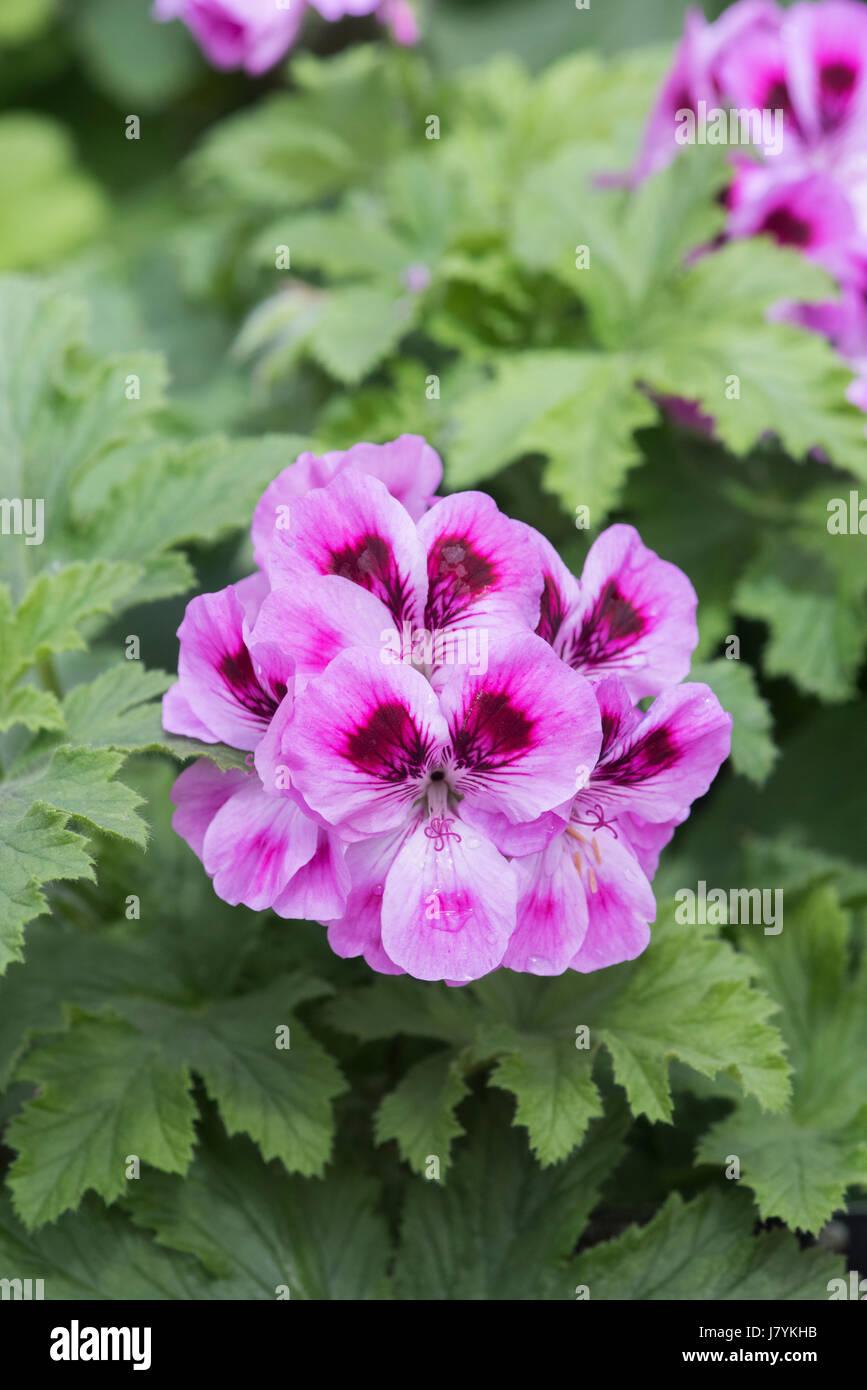 Pelargonium 'Orsett' flowers. Scented Geranium Stock Photo