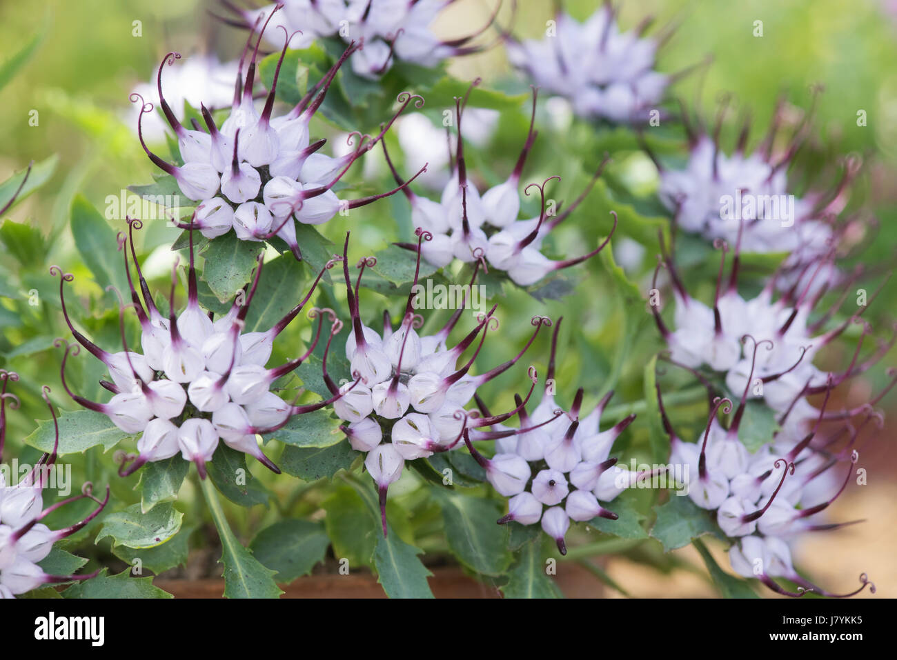 Purple Flowers Spiky Leaves Stock Photos Purple Flowers Spiky