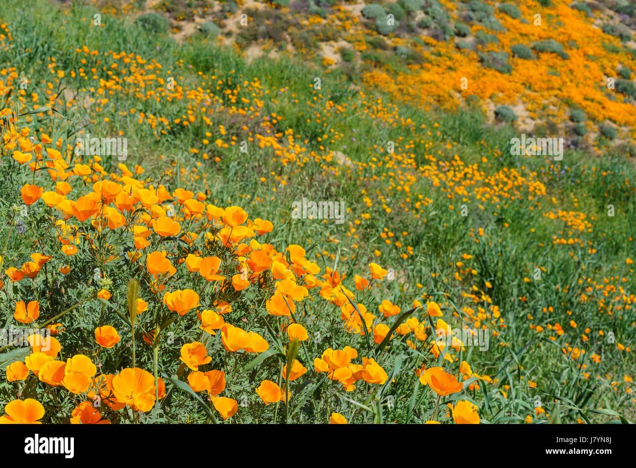 Poppy flower blossom near Lake Elsinore, California - Stock Image