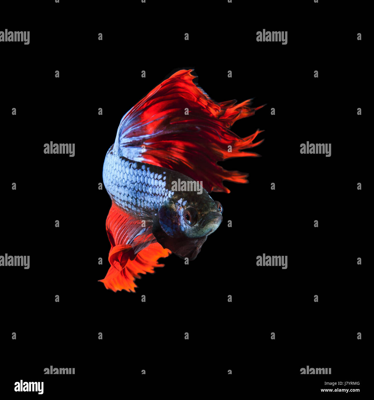 red fin siamese fighting betta fish full body and beautiful fin tail isolated on black background Stock Photo
