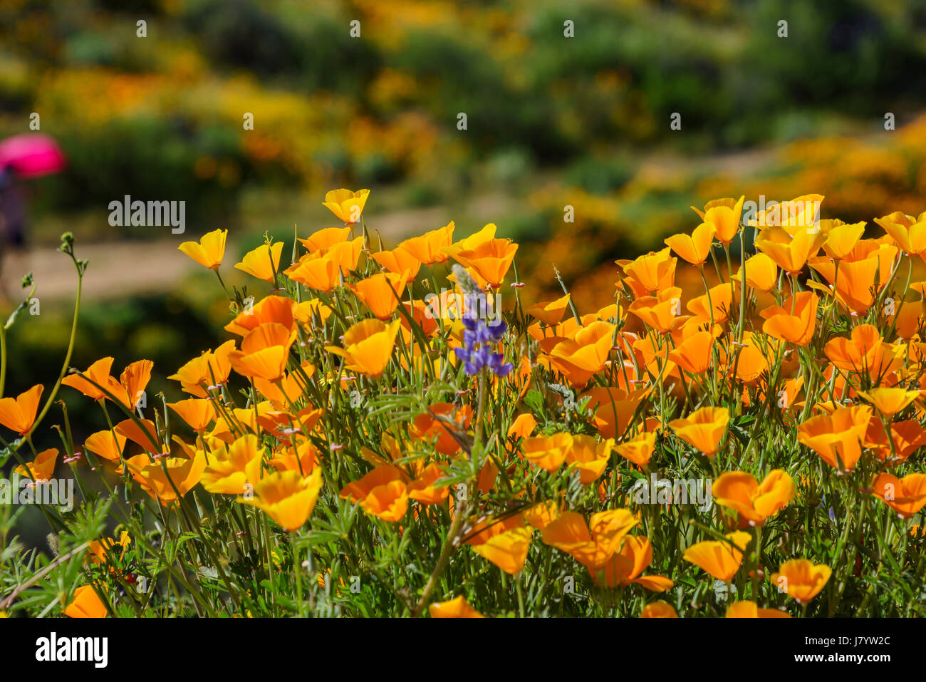 Lots Of Wild Flower Blossom Perennial Lupine And Poppy Flowers At