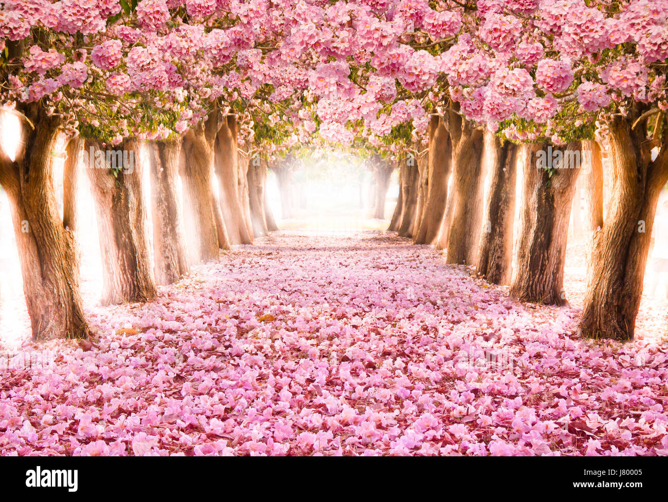 Falling Petal Over The Romantic Tunnel Of Pink Flower Trees Stock