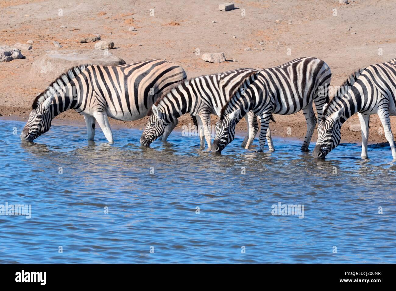 Burchell's zebras (Equus quagga burchellii), drinking at waterhole, Etosha National Park, Namibia, Africa - Stock Image